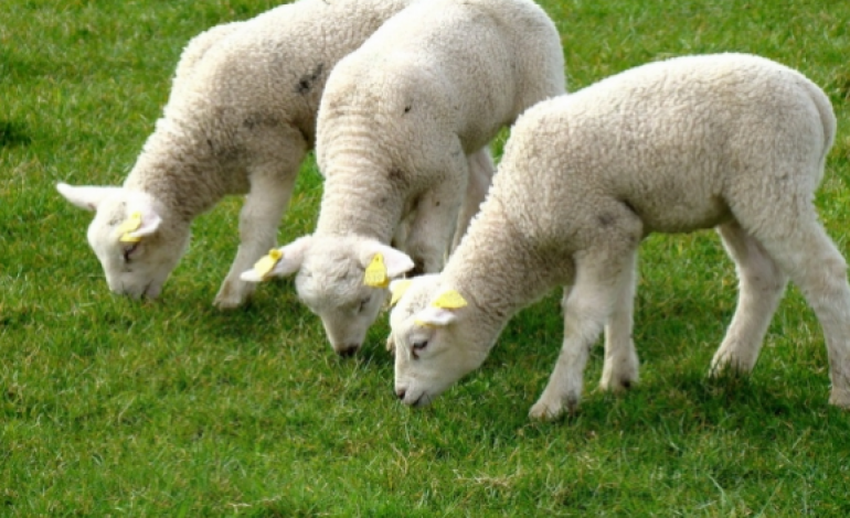 Cilat kafshë mund të theren kurban e cilat jo