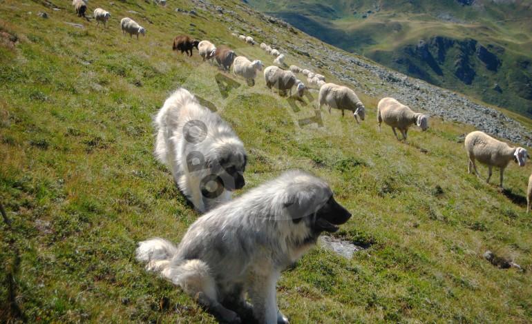 Qenët e bariut mb*ysin ujkun në Dragash
