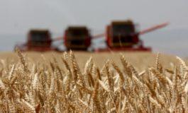 Këtë vit u mbollën 20 mijë hektarë grurë më pak