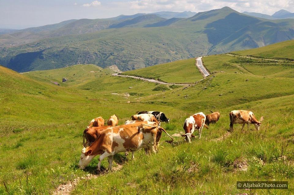 Dilemat për mishin e lopëve të sëmura në Kosovë