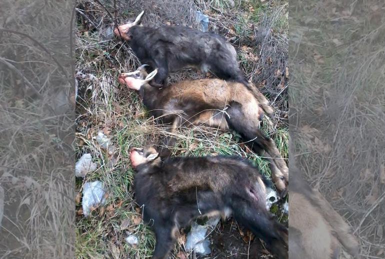 Skandaloze: Edhe deputetët përfshijen në vrasjen masive të kafshëve të egra