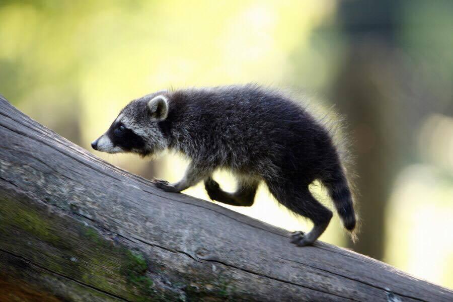 """Opoja po """"dridhet"""" nga kjo kafshë e egër, po ua dëmton makinat luksoze (Foto)"""