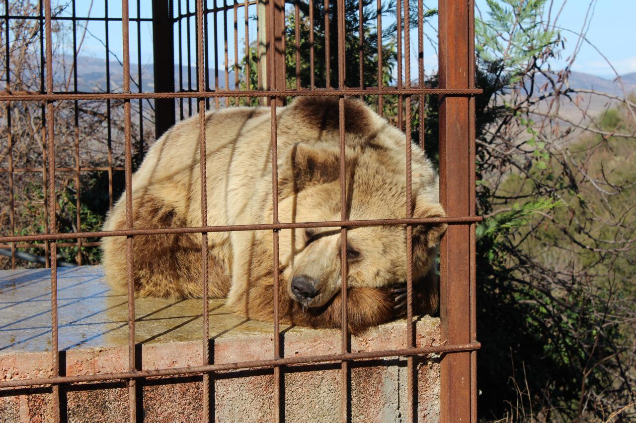 Vuajtjet e arinjve në Shqipëri