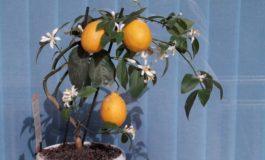 Si të kultivohet limoni