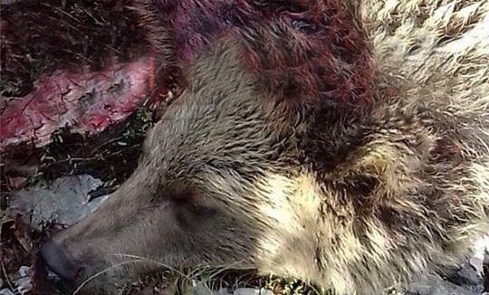 Vriten dy këlyshë të arushës në Bukosh të Suharekës