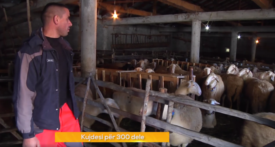 Blegtori nga Bresana që kujdeset për 300 dele (Video)