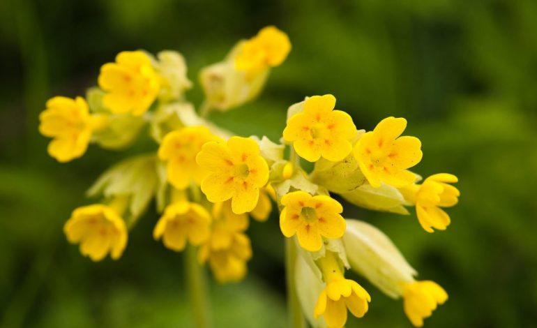 Primula e pranverës – bima që rritet në Opojë dhe që kushton me mijëra euro kilogrami