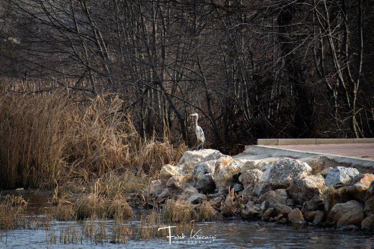 Befasuese! Moti i ngrohtë i nëntorit sjell lejlekët të Liqeni i Breznes (Foto)