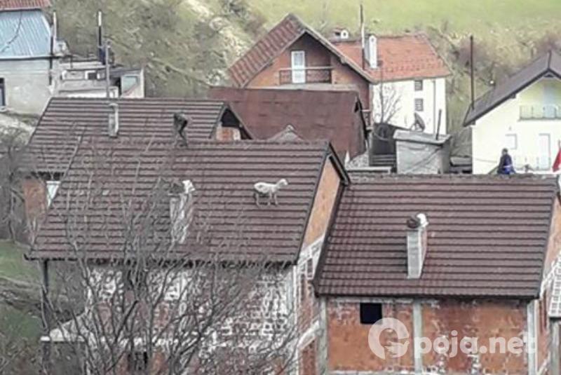 Çudia e fundit në Restelicë, delja hypi mbi kulmin e një shtëpie (Foto)