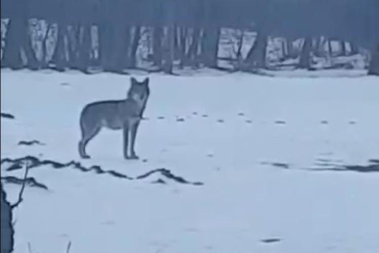 Ujku shfaqet në një fshat të Dragashit, afër rrugës ku kalojnë nxënësit