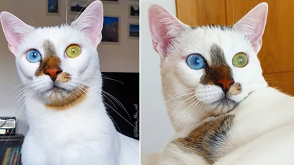 Bowie the rescue cat with unique appearance becomes internet sensation