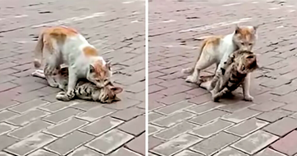 Watch this exhausted cat drag the lifeless body of her friend to safety