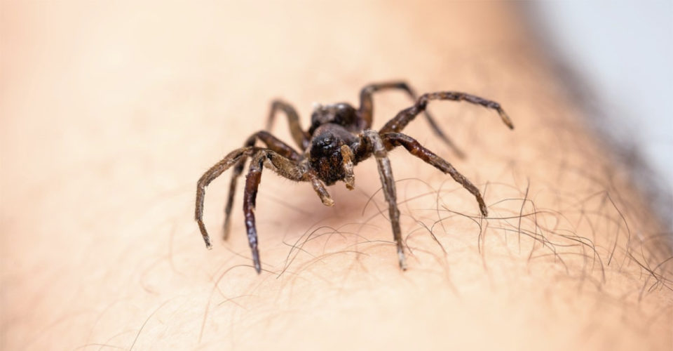 WARNING: New spider species rots human flesh with a single bite – likes hiding in furniture and clothes