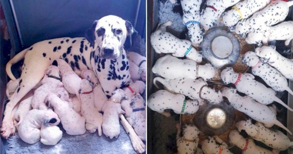 Qeni dalmat lind 18 qenushë