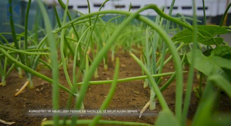 Të mbjellësh perime në katin e 6-të sikur Alush Seferi (VIDEO)