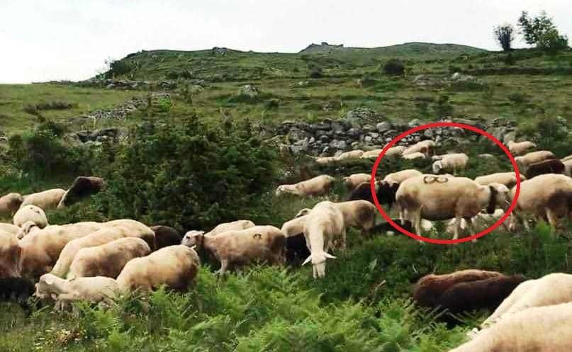 Në Opojë vidhen rreth 100 dele – Pronari ndodhej në spital!
