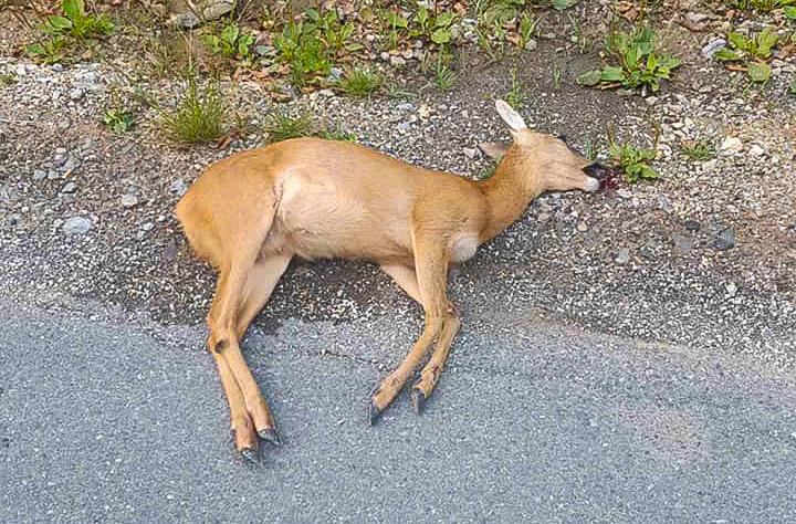 Gjendet një kaproll i mbytur në rrugën Dragash- Pllavë, bëhet thirrje për mbrojtje të kafshëve
