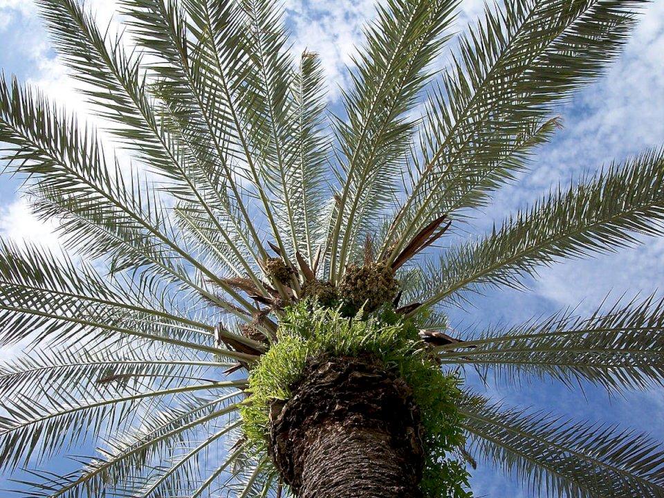 Palma, pema që i ngjason muslimanit